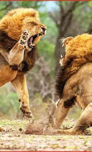 Selvaggio Italiano Lions Lotta 1